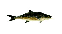 cobia wade 55x30